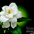One Sensual White Flower Poster by Carol F Austin