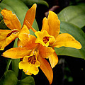 Orange Spotted Lip Cattleya orchid Poster by Rudy Umans
