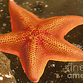 Orange Starfish in California Ocean Print by Artist and Photographer Laura Wrede