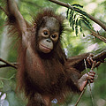 Orangutan Infant Hanging Borneo Poster by Konrad Wothe