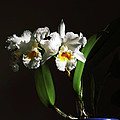 Orchid Cattleya Bow Bells Poster by Charline Xia