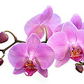 Orchid Flowers - Pink Print by Natalie Kinnear