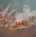 Orchids in the Mist Poster by John Kain