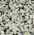 Oxeye Daises Print by Tim Gainey