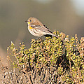 Pacific Sloped Flycatcher Print by Natural Focal Point Photography