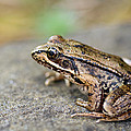 Pacific Tree Frog on a Rock Print by David Gn