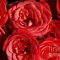 Painted Red Roses Poster by Braat Photography