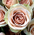 Pale Pink Roses Poster by Kathy Yates