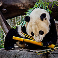 Panda Bear Print by Robert Bales