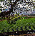 Panoramic of Winter Lettuce Poster by Robert Bales