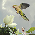 Parrot and Magnolia Tree Poster by Schwartz