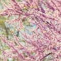 Pastel Pink Flowers of Redbud Tree in Springtime  Poster by Lisa Russo