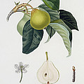 Pear Poster by Pierre Antoine Poiteau