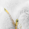 Peering Thru Feathers Print by Dawn Currie