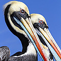 Pelican Perfection Print by James Brunker