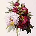 Peonies engraved by Prevost Print by Pierre Joseph Redoute