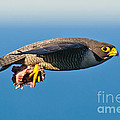 Peregrine Falcon 2 by Michael  Nau