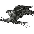Peregrine Hawk or Falcon Black and White with Pen and Ink Drawing Poster by Mario  Perez