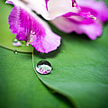 Peruvian Lily Raindrop by Priya Ghose