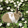 Pet Rabbit Print by Hans Reinhard/Okapia