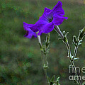 Petunia Botanical study Macro Print by PAMELA Smale Williams