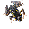 Phyllobates lugubris with a tadpole Poster by JP Lawrence