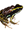 Phyllobates lugubris with tadpoles Poster by JP Lawrence