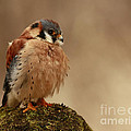 Picture Perfect American Kestrel  Print by Inspired Nature Photography By Shelley Myke