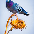 Pigeon On Sunflower Poster by Bob Orsillo