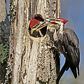 Pileated Woodpecker and Chick Poster by Susan Candelario
