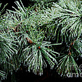Pine Needles in Ice Poster by Betty LaRue