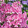 Pink And Blue Rhododendron Poster by Frank Tschakert