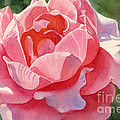 Pink and Orange Rose Blossom Print by Sharon Freeman