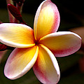 Pink and Yellow Plumeria Poster by Brian Harig
