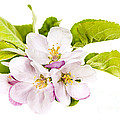 Pink apple blossoms Poster by Elena Elisseeva