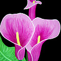 Pink Calla Lillies 2 Poster by Angelina Vick