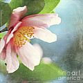 Pink Camellia Print by Sylvia Cook