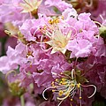 Pink Crepe Myrtle Closeup Poster by Carol Groenen