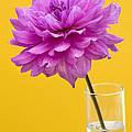 Pink Dahlia in a Vase against Yellow Orange Background Print by Natalie Kinnear