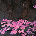 Pink Fall colors in Sedona Arizona Poster by Dave Dilli