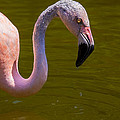 Pink Flamingo Print by Garry Gay