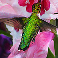 Pink Hummer Print by Bill Caldwell -        ABeautifulSky Photography