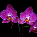 Pink orchid  Print by Toppart Sweden