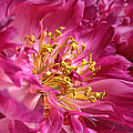 Pink Peony Flower Macro Print by Jennie Marie Schell