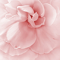 Pink Ruffled Begonia Flower Poster by Jennie Marie Schell