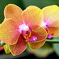 Pink Yellow Orchid Print by Rona Black