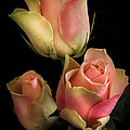 Pink Yellow Roses on a black background Print by Hugo Bussen