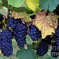 Pinot Noir Grapes Print by Kevin Miller