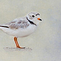 Piping Plover Print by Bill  Wakeley