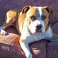 Pitbull on a couch Poster by RITMO BOXER DESIGNS